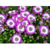 供应地被植物-瓜叶菊,别称富贵菊、黄瓜花