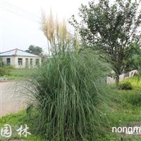 水生植物蒲苇,蒲苇苗,矮蒲苇,蒲苇价格,蒲苇基地