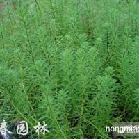 供应水生植物狐尾藻,苏北狐尾藻直销基地