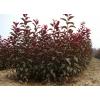 供应美国紫叶矮樱,美国紫叶矮樱苗,美国紫叶矮樱直销基地