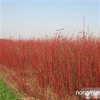 红瑞木、红瑞木苗、红瑞木基地、别名:红梗木、凉子木