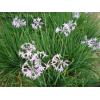 紫娇花,紫娇花种子,紫紫娇花苗,别称野蒜、非洲小百合