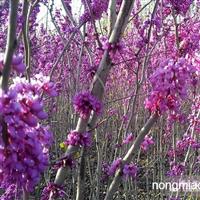 紫荆种子,紫荆,别名:满条红、苏芳花、紫株、乌桑、箩筐树