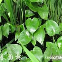 水生植物雨久花,雨久花苗,又名浮蔷、蓝花