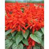 供应地被植物一串红,一串红种苗,别名拉尔维亚、象牙红、西洋红