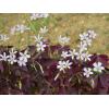 供应彩色宿根花卉紫叶�m浆草,大量出售紫叶�m浆草