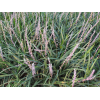 供应彩色地被植物-阔叶麦冬,大量出售阔叶麦冬