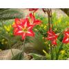 供应彩色植物-朱顶红,大量朱顶红种球,别名孤挺花