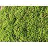 绿化垂盆草 垂盆草价格 垂盆草种植