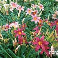 萱草新品种 鸢尾新品种 玉簪新品种 宿根花卉新品种