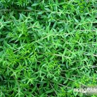 便宜垂盆草 优质垂盆草哪里找?保定垂盆草基地欢迎您!