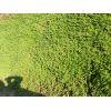 垂盆草|垂盆草价格|优质垂盆草