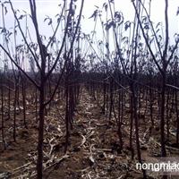 新疆呼图壁寒富苹果树苗苹果苗