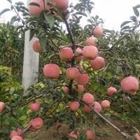 供应新疆红富士苹果树苗