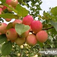 (辽宁苹果苗)辽宁苹果树苗寒富苹果苗