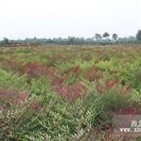 南天竺观叶类苗木供应