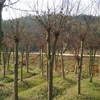 湖南浏阳红枫种植基地大量供应各种规格的浏阳嫁接红枫