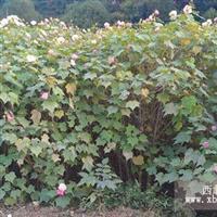 湖南木芙蓉/木芙蓉种植基地/独杆木芙蓉图片/木芙蓉最新报价