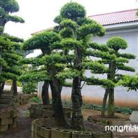 造型榆树哪里最多/榆树古桩盆景展览/湖南榆树销售信息