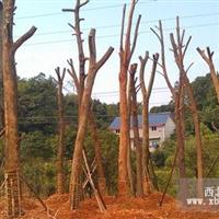 湖南香樟基地 30-40公分野生香樟价格 20公分原生香樟树