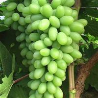 晋城葡萄苗  出售晋城葡萄苗