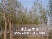 速生柳树价格 河北速生柳供应