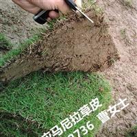 贵州草皮、贵州马尼拉草皮全新行情