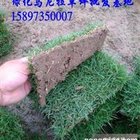 莆田绿化马尼拉草皮/草坪价格