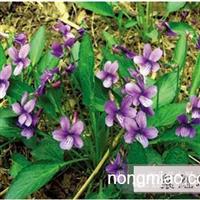 紫花地丁|紫花地丁价格