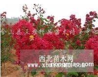 美国红火球紫薇扦插苗