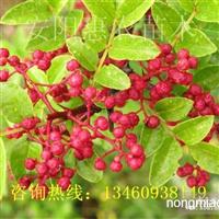 河南焦作郑州哪里有卖花椒苗的