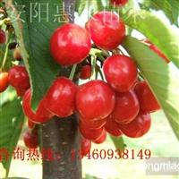 河南郑州哪里有卖樱桃苗的