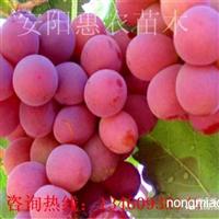 邯郸驻马店新乡鹤壁哪里有葡萄苗