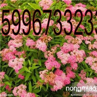 50公分绣线菊价格,绿化苗木