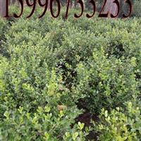40公分小叶黄杨价格