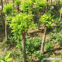 大量供应3―15公分高矮嫁接金叶金枝国槐、金叶榆。