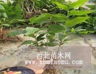 河南鄢陵大量供应1-2年生腊梅苗