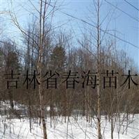 供应白桦树
