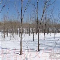 大量供应水曲柳绿化树(水曲柳树)