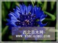 常年批发矢车菊种子