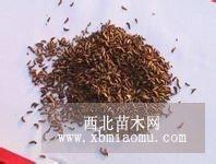 常年供应脱壳紫穗槐种子