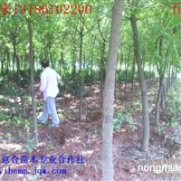 五角枫8-15cm