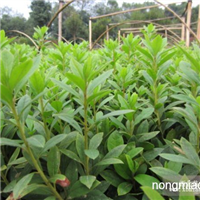 较新绿化小苗报价,杜鹃花小苗,春鹃小苗价格,西洋鹃价格查询