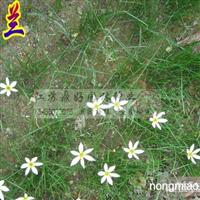 葱兰、玉簪、鸢尾、草本植物直销