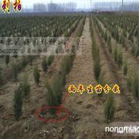 50公分刺柏分栽苗 刺松栽培基地