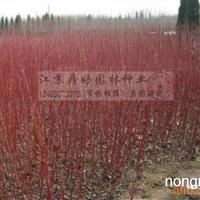 二年生红瑞木苗木 彩色绿化苗木