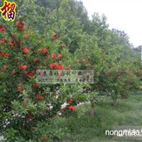 果树绿化花卉苗木 供优质石榴树 石榴苗