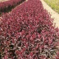营养钵红叶石兰,月季,红叶小檗,金叶女贞,水蜡