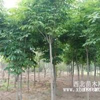 陕西供应七叶树1-10cm