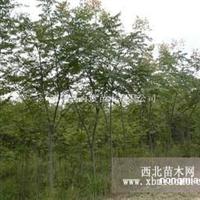 陕西栾树1-10cm